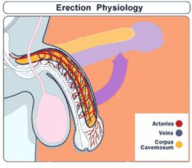 Erection causes