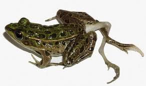 Leydig Cells Phthalates Testicles Frog