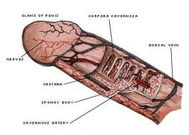 human reproduction and development inside the human body